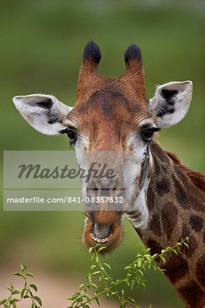 Cape giraffe (Giraffa camelopardalis giraffa) eating, Kruger National Park, South Africa, Africa