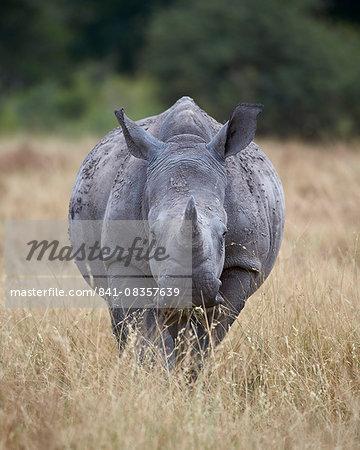 White rhinoceros (Ceratotherium simum), Kruger National Park, South Africa, Africa