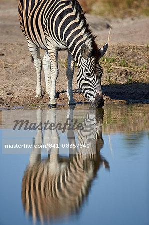 Common zebra (Plains zebra) (Burchell's zebra) (Equus burchelli) drinking with reflection, Kruger National Park, South Africa, Africa