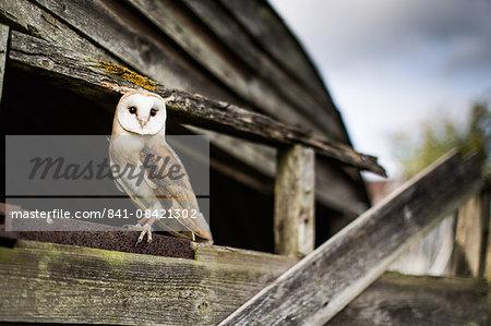 Barn owl (Tyto alba), Wheatley, Oxfordshire, England, United Kingdom, Europe