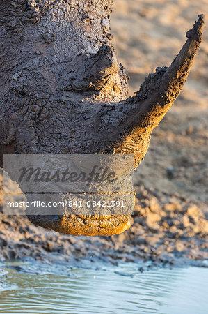 White rhino (Ceratotherium simum) with muddy face, Mkhuze game reserve, KwaZulu-Natal, South Africa, Africa
