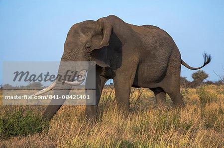African elephant bull (Loxodonta africana), Kruger National Park, South Africa, Africa