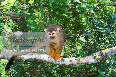 Squirrel monkey (Saimiri sciureus), Amazon state, Brazil, South America