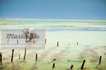 seaweed farmer zanzibar island tanzania east africa africa