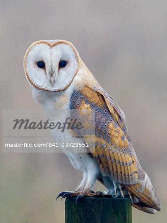 Barn owl (Tyto alba), resting perched on a roadside wooden stump, Norfolk, England, United Kingdom, Europe