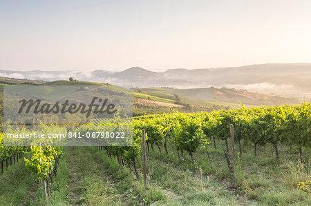 Vineyards near to Orveito, Umbria, Italy, Europe