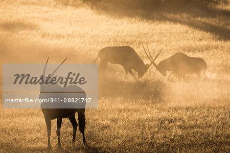 Gemsbok (Oryx gazella), Kgalagadi Transfrontier Park, South Africa, Africa