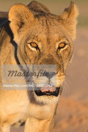 Lioness (Panthera leo) in the Kalahari, Kgalagadi Transfrontier Park, Northern Cape, South Africa, Africa