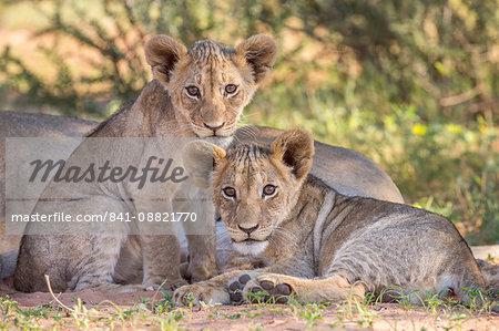Lion cubs (Panthera leo) in the Kalahari, Kgalagadi Transfrontier Park, Northern Cape, South Africa, Africa