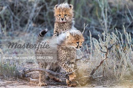 Cheetah (Acinonyx jubatus) cubs, Kgalagadi Transfrontier Park, Northern Cape, South Africa, Africa
