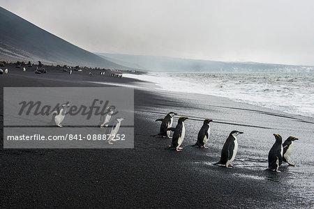 Chinstrap penguin group (Pygoscelis antarctica), Saunders island, South Sandwich Islands, Antarctica, Polar Regions