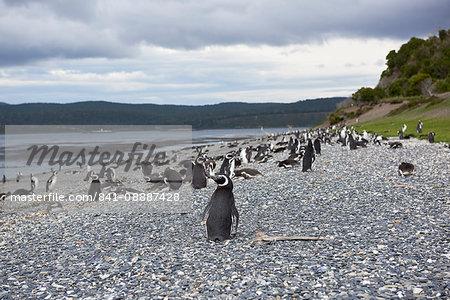 A magellanic penguin colony at the beach on Martillo Island, Tierra del Fuego, Argentina, South America