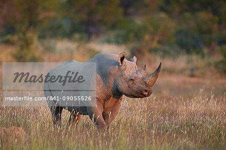 Black Rhinoceros (hook-lipped rhinoceros) (Diceros bicornis), Mountain Zebra National Park, South Africa, Africa