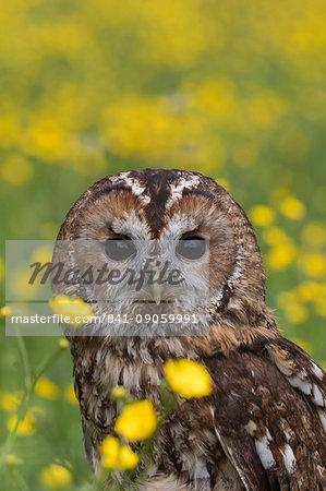 Tawny owl (Strix aluco) in buttercups, captive, Cumbria, England, United Kingdom, Europe