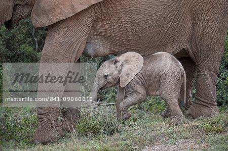Baby African elephant (Loxodonta africana), Addo Elephant National Park, South Africa, Africa