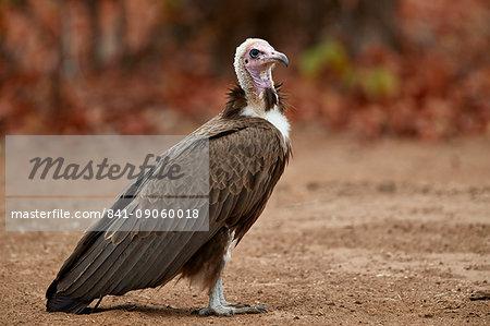 Hooded vulture (Necrosyrtes monachus), Kruger National Park, South Africa, Africa