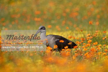 Hadeda Ibis (Bostrychia hagedash) among wildflowers, Namaqua National Park, Namakwa, Namaqualand, South Africa, Africa