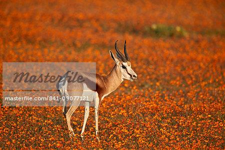 Springbok (Antidorcas marsupialis) among orange wildflowers, Namaqualand National Park, Namakwa, Namaqualand, South Africa, Africa