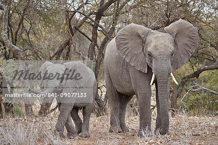 African elephant (Loxodonta africana) adult and juvenile, Kruger National Park, South Africa, Africa