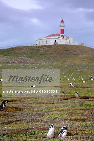 Magellanic penguins (Spheniscus magellanicus) nesting on an island near Punta Arenas, Patagonia, Chile, South America