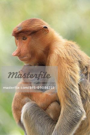 Proboscis Monkey mother and baby, Borneo, Malaysia, Southeast Asia, Asia