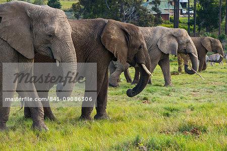 Line-up of four elephants, Kynsna Elephant Park, Knysna, Western Cape, South Africa, Africa