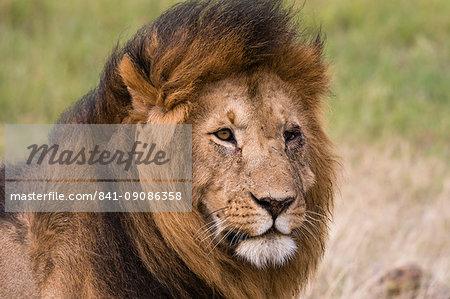 Portrait of a male lion (Panthera leo), Masai Mara, Kenya, East Africa, Africa