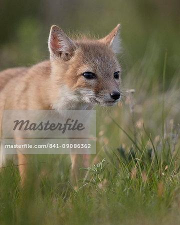 Swift fox (Vulpes velox) kit, Pawnee National Grassland, Colorado, United States of America, North America