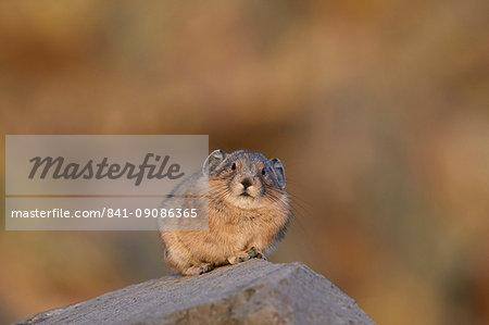 American pika (Ochotona princeps), San Juan National Forest, Colorado, United States of America, North America
