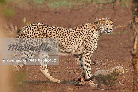 Cheetah (Acinonyx jubatus) mother and cub, Kruger National Park, South Africa, Africa