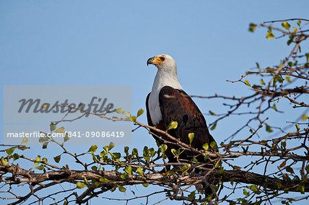African fish eagle (Haliaeetus vocifer), Selous Game Reserve, Tanzania, East Africa, Africa