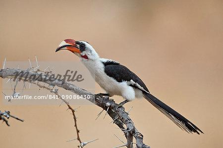 Von Der Decken's hornbill (Tockus deckeni), male, Selous Game Reserve, Tanzania, East Africa, Africa