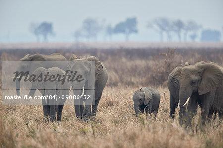 Herd of African elephant (Loxodonta africana), Mikumi National Park, Tanzania, East Africa, Africa