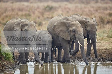 African elephant (Loxodonta africana) drinking, Mikumi National Park, Tanzania, East Africa, Africa