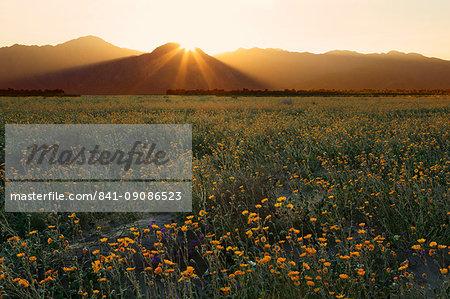 Desert sunflowers, Anza-Borrego Desert State Park, Borrego Springs, California, United States of America, North America