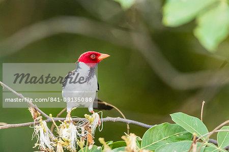 An adult yellow-billed cardinal (Paroaria capitata), Porto Jofre, Mato Grosso, Brazil, South America