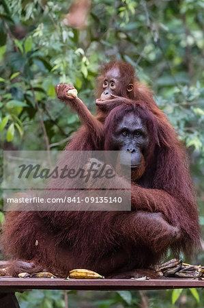 Mother and baby Bornean orangutan (Pongo pygmaeus) at Camp Leakey, Borneo, Indonesia, Southeast Asia, Asia