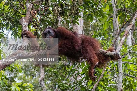 Male Bornean orangutan (Pongo pygmaeus) at Camp Leakey dock, Borneo, Indonesia, Southeast Asia, Asia