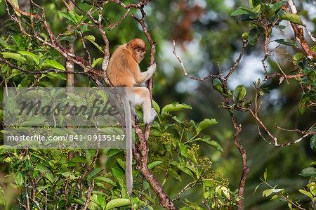Young proboscis monkey (Nasalis larvatus), Tanjung Puting National Park, Kalimantan, Borneo, Indonesia, Southeast Asia, Asia