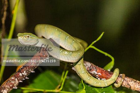 Bornean keeled green pit viper (Tropidolaemus subannulatus), Tanjung Puting National Park, Kalimantan, Borneo, Indonesia, Southeast Asia, Asia