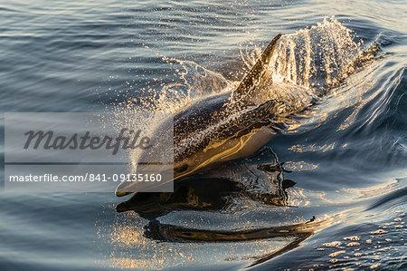 Long-beaked common dolphin (Delphinus capensis) wake riding, Isla Danzante, Baja California Sur, Mexico, North America