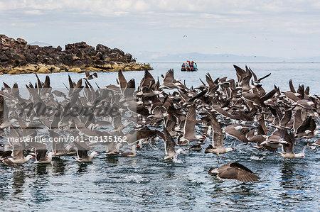 A flock of Heermann's gulls (Larus heermanni) taking flight, Isla Rasa, Baja California, Mexico, North America
