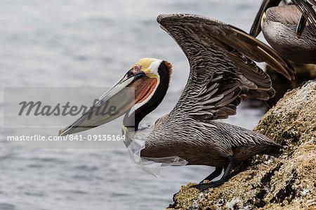 Adult brown pelican (Pelecanus occidentalis), with plastic bag, Santa Rosalia Harbor, Baja California Sur, Mexico, North America