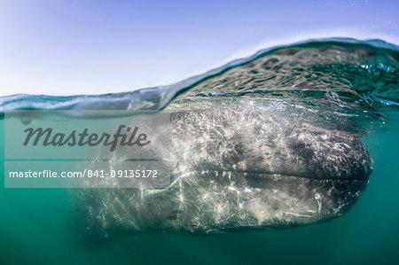 California gray whale calf (Eschritius robustus), half above half below, San Ignacio Lagoon, Baja California Sur, Mexico, North America