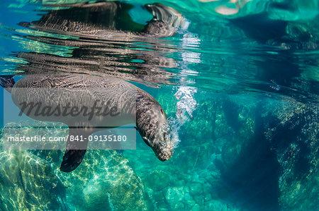 California sea lion (Zalophus californianus) underwater at Los Islotes, Baja California Sur, Mexico, North America