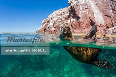 California sea lion (Zalophus californianus), half above and half under at Los Islotes, Baja California Sur, Mexico, North America