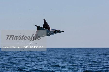 Adult Munk's pygmy devil ray (Mobula munkiana), leaping near Isla Danzante, Baja California Sur, Mexico, North America