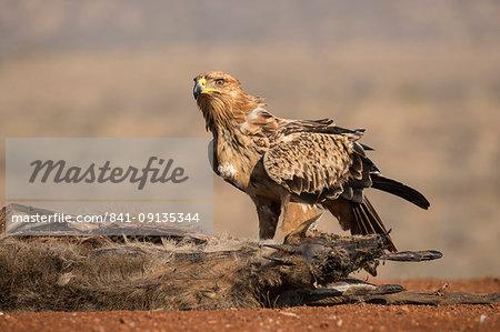 Tawny eagle (Aquila rapax) scavenging, Zimanga Private Game Reserve, KwaZulu-Natal, South Africa, Africa