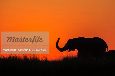 Elephant (Loxodonta africana) at sunset, Chobe National Park, Botswana, Africa