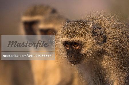 Vervet monkeys (Chlorocebus pygerythrus), Zimanga Game Reserve, KwaZulu-Natal, South Africa, Africa